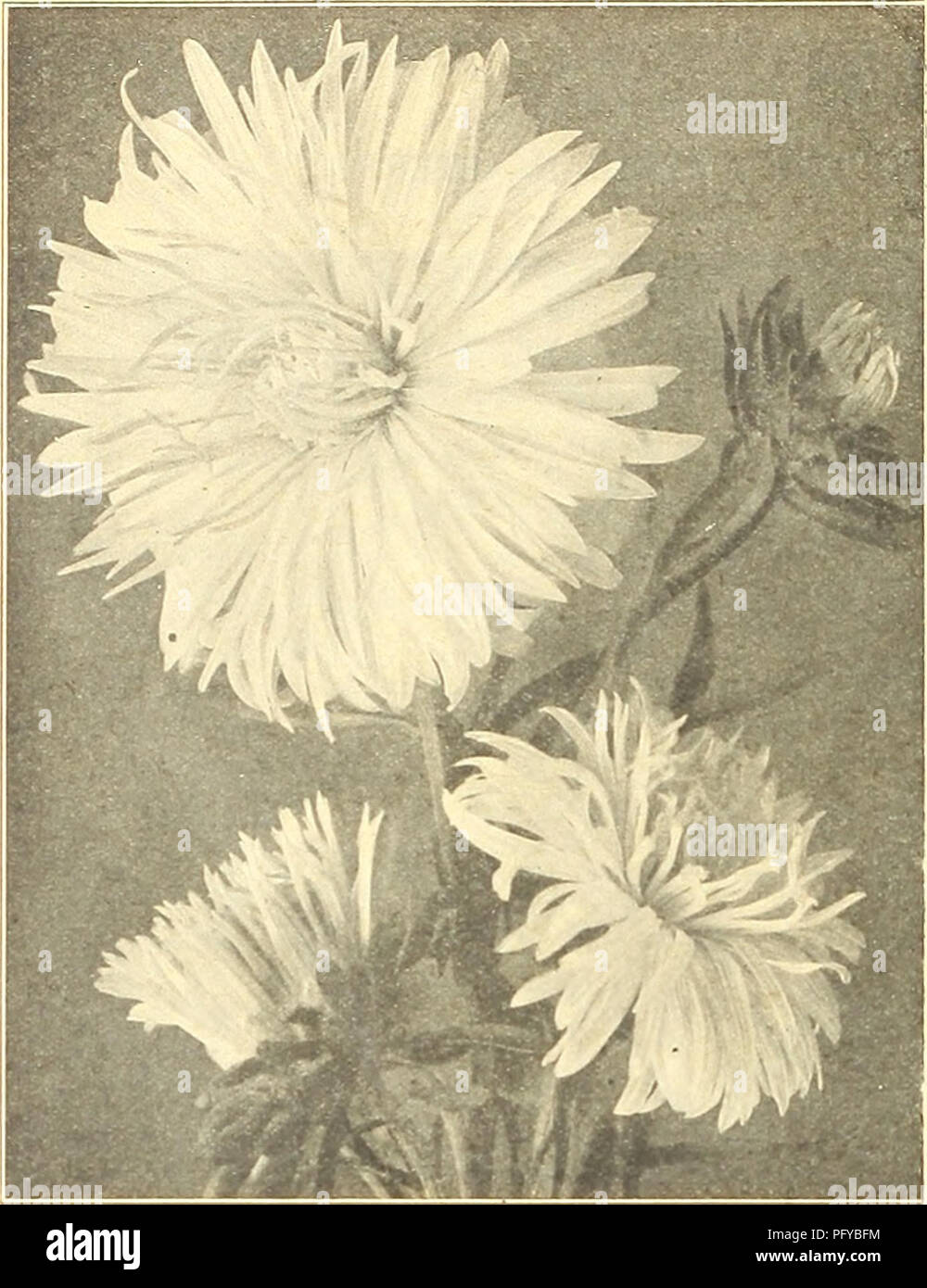 """. Currie's farm and garden annual : spring 1921 46th year. Flowers Seeds Catalogs; Bulbs (Plants) Seeds Catalogs; Vegetables Seeds Catalogs; Nurseries (Horticulture) Catalogs; Plants, Ornamental Catalogs; Gardening Equipment and supplies Catalogs. 50 CURRIE BROTHERS COMPANY, MILWAUKEE, WIS.. CURRIE'S CHOICE ASTERS ASTERMUM. Pkt. A splendid new type of the Hohenzollern Aster, of im- mense size, with very full center. The plant reaches a height of from IS to 24 inches, growing- very straight, with strong, sturdy stems, starting near the base. """"We offer it in three colors, White, Pink, Laven - Stock Image"""