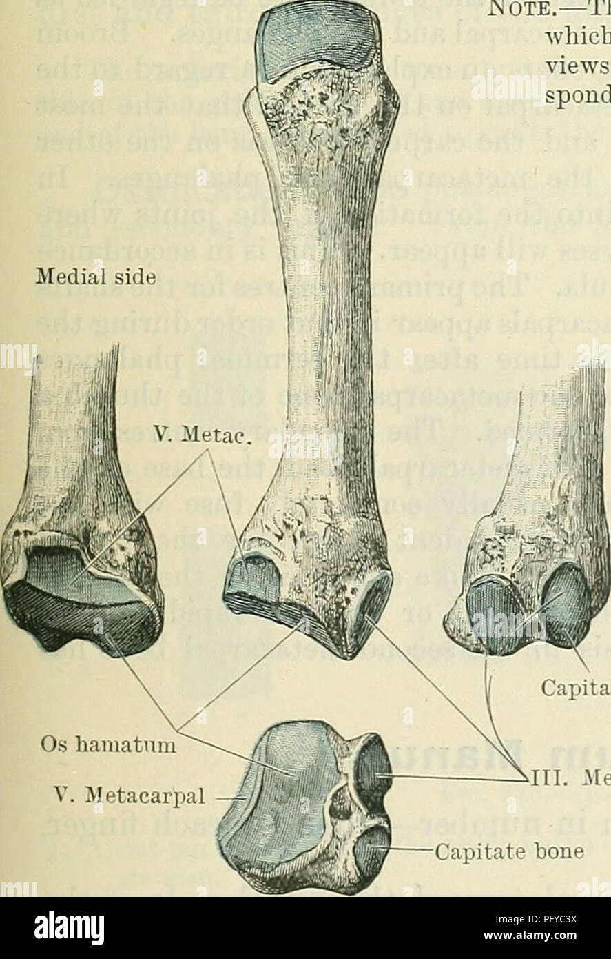 Cunninghams Text Book Of Anatomy Anatomy Styloid Process Capitate