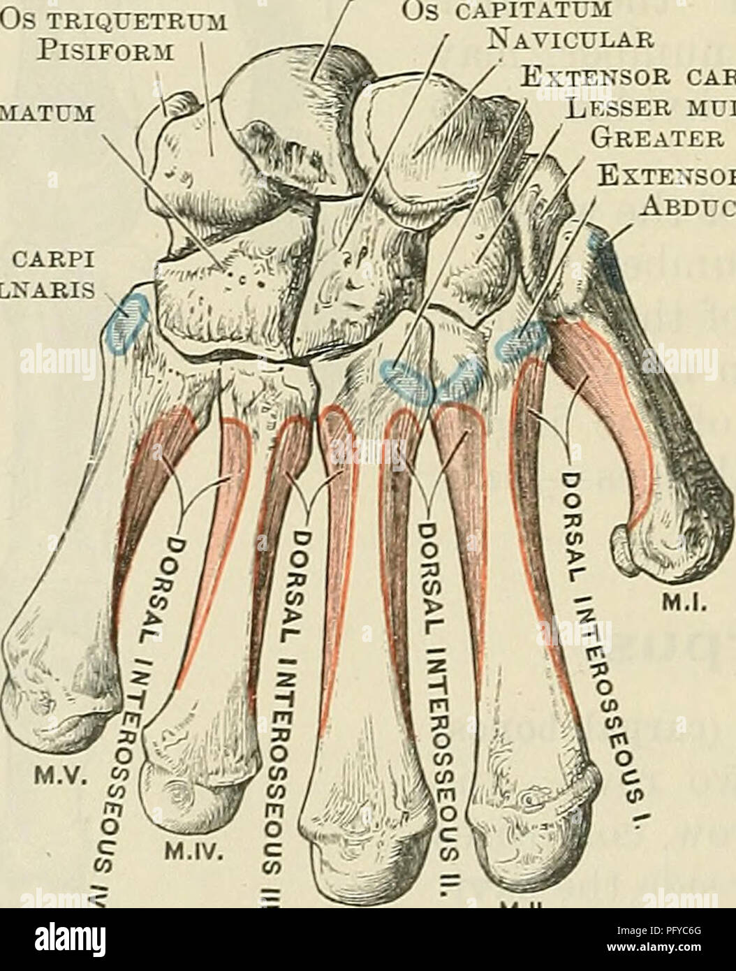 Cunninghams Text Book Of Anatomy Anatomy Fig 210volar Aspect