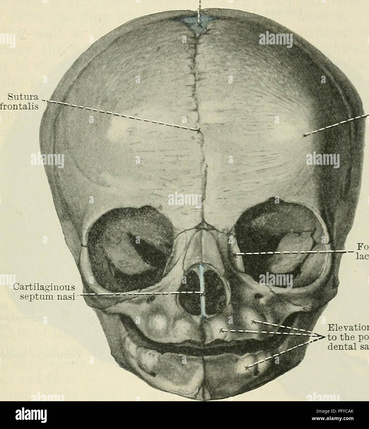 Cunningham\'s Text-book of anatomy. Anatomy. THE SKULL AT BIETH. 195 ...