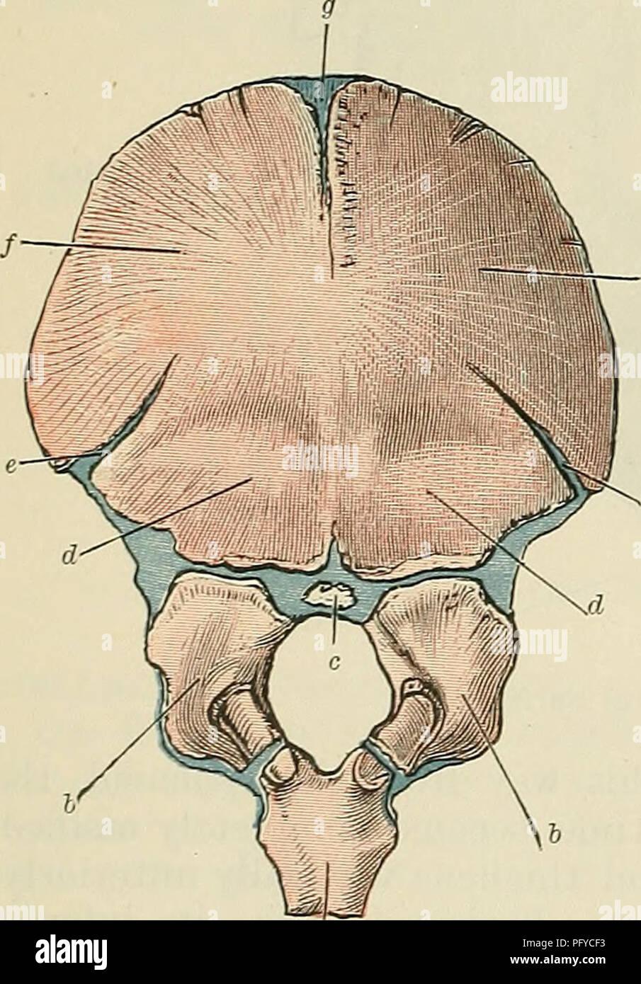 Cunningham\'s Text-book of anatomy. Anatomy. 124 OSTEOLOGY. sagittal ...