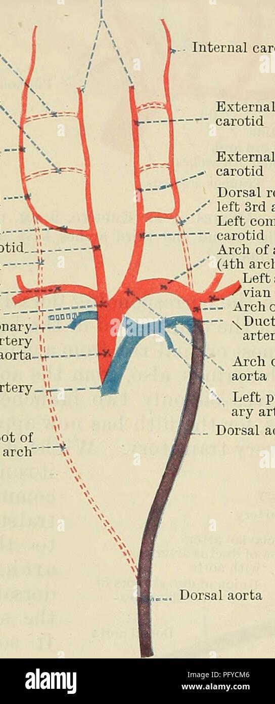 Common Carotid Artery Stock Photos & Common Carotid Artery Stock ...