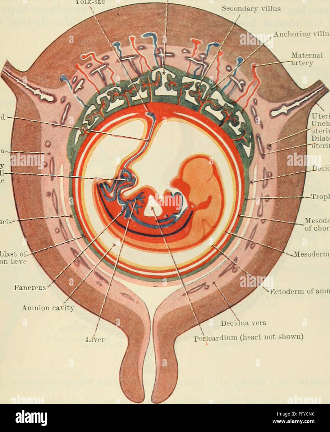 . Cunningham's Text-book of anatomy. Anatomy. THE PLACENTA. 59 by a layer of cellular trophoblast, Langhan's layer, which lies next the mesoderm, and a layer of Plasmodium external to the cellular layer. The proximal end of .each villus is continuous with the chorion plate of the intervillous spaces, formed by the chorion, and the distal extremity is connected by the plasmodial basal layer of the trophoblast, which forms the outer boundary of the intervillous spaces and which is fused with the maternal decidual tissue. After a time branches are projected from the sides of the secondary villi i Stock Photo