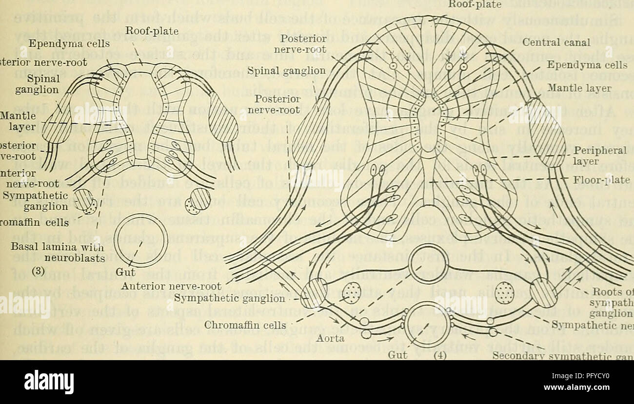 Surface Nerve Root Diagrams - DIY Enthusiasts Wiring Diagrams •