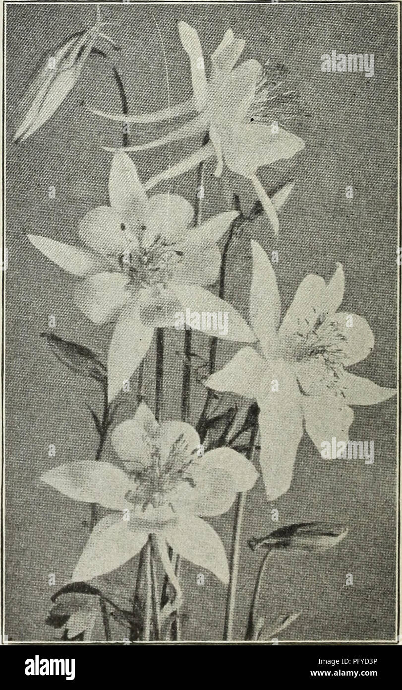 """. Currie's autumn 1929 54th year bulbs and plants. Flowers Seeds Catalogs; Bulbs (Plants) Seeds Catalogs; Nurseries (Horticulture) Catalogs; Plants, Ornamental Catalogs. Anthemis ANCHUSA ETAUCA Dropmore Variety—An early and effective border gentian blue flowers, 4 feet. Price, each, 25c: (Japanese Windflower) plant, bearing an per doz., ^2.50. HARDY PERENNIAL PLANTS Add for Postage if Ordered by Parcel Post ACHILLEA (Milfoil or Yarrow) Millefolium Rosea—Bears dense heads of pink flowers all summer. Ptarmica fl. pi. """"The Pearl""""—Flowers double white, borne in great profusion all season - Stock Image"""