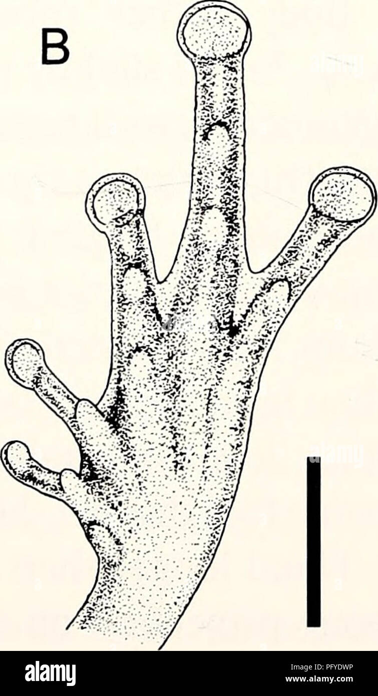 . Current herpetology. Reptiles; Herpetology. Fig. 4. Ventral view of left hand (A) and left foot (B) of P. tuberohumerus. Scale 2 mm. large disc which has a distinct circummarginal groove (means of the type series in mm: FD1=0.51, FD2=0.66, FD3=0.96, FD4= 0.90). No vy^eb between fingers. Subarticular and palmar tubercles well developed (Fig. 4). Femur slightly longer than tibia. Toe length 4>3>5>2>1 (means of the type series in mm: TOLl = 1.44, TOL2=2.07, TOL3=2.92, TOL4=4.10, TOL5=2.89). Toe discs large, with a circummarginal groove (means of the type series in mm: TD1=0.54, TD2= - Stock Image