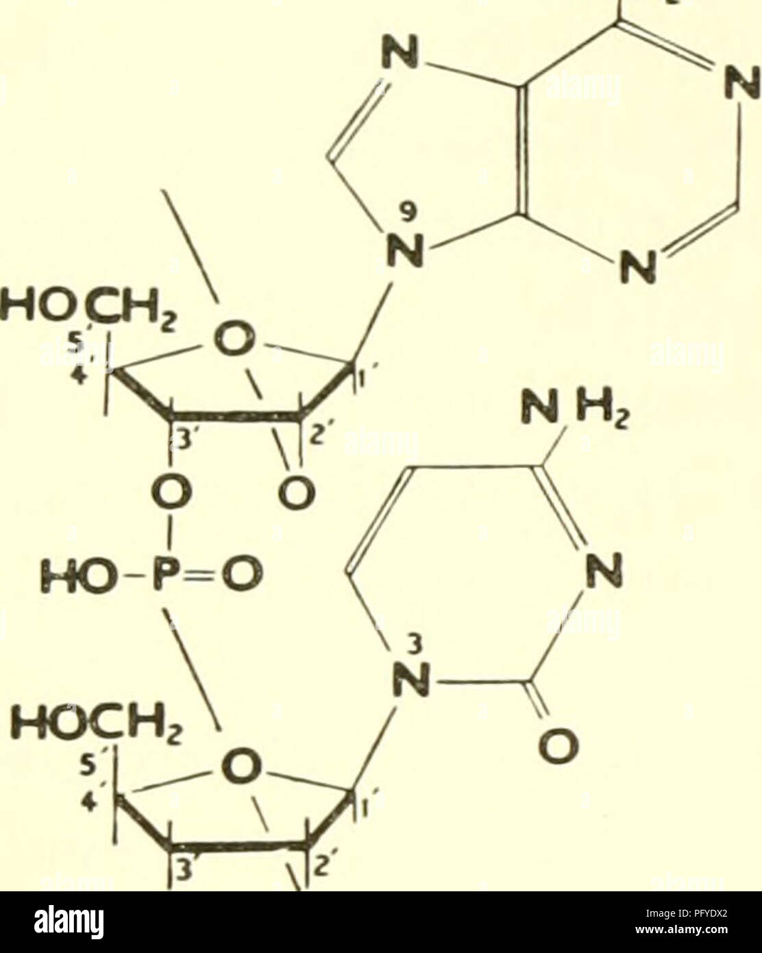 . Currents in biochemical research, 1956; twenty-seven essays charting the present course of biochemical research and considering the intimate relationship of biochemistry to medicine, physiology, and biology. Biochemistry -- Research. RIBONUCLEIC ACIDS carbon of one to the third carbon of the next (2',3' phospho- diester Hnk), could not accommodate the facts which were accumulating. Chief among these were the hydrolysis of RNA to nucleosides and inorganic phosphate by snake venoms (25-27) containing a phosphomonoesterase specific for 5' nucleotides, and the reduction of periodate by the mixtu - Stock Image