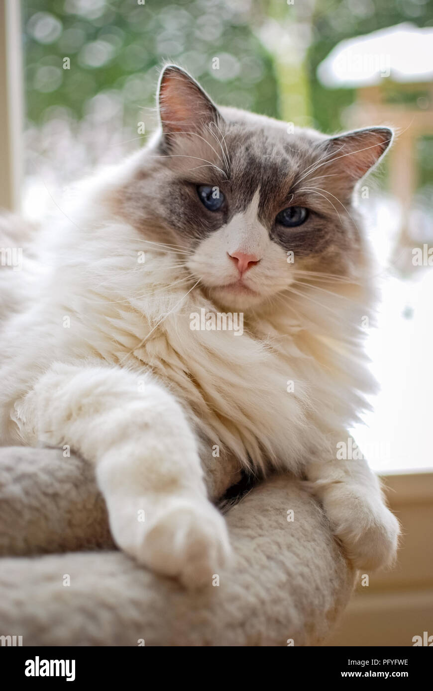 Nice Ragdoll cat. It is best known for its docile and placid temperament . The name Ragdoll is derived from the tendency to go limp when picked up. - Stock Image