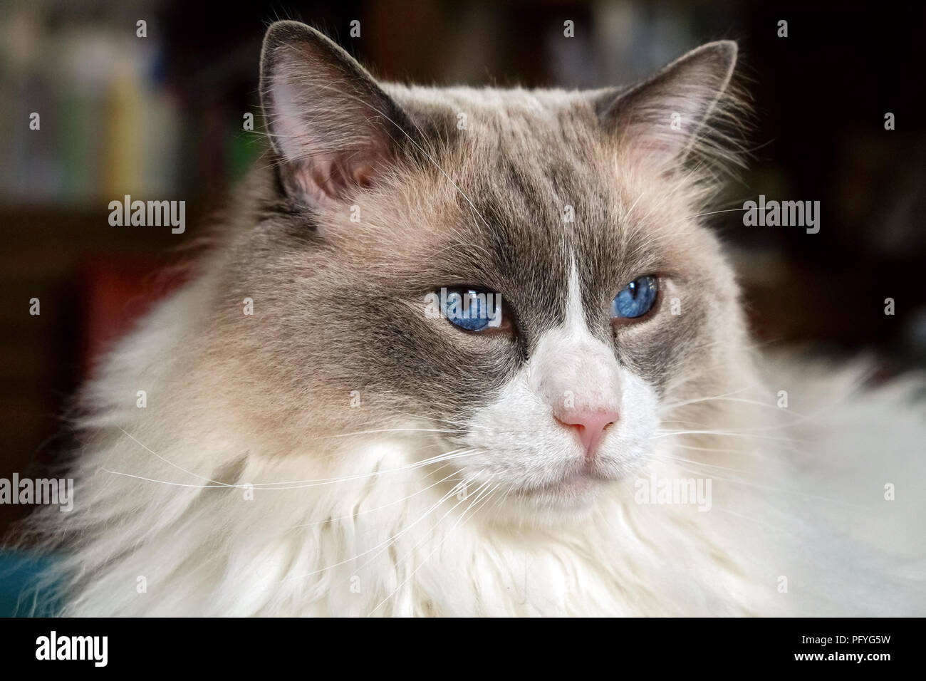 Nice Ragdoll cat. Developed by American breeder Ann Baker, it is best known for its docile and placid temperament and affectionate nature. The name 'R - Stock Image