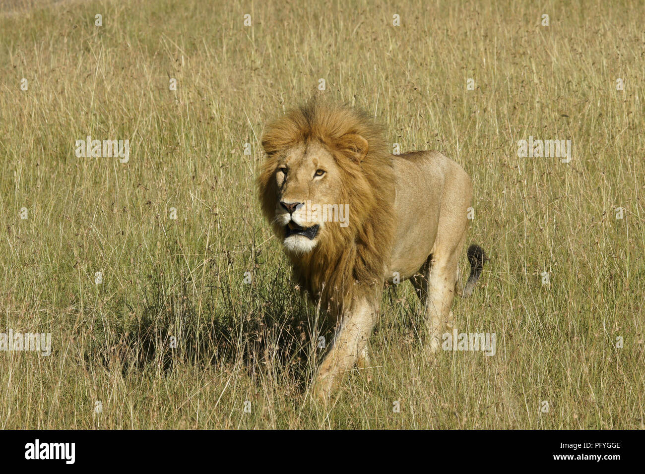 Male lion walking in long grass, Masai Mara Game Reserve, Kenya Stock Photo