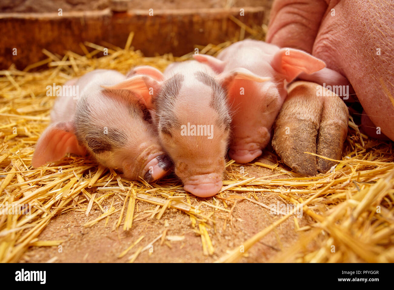 Piggy on the Mother's background - Stock Image