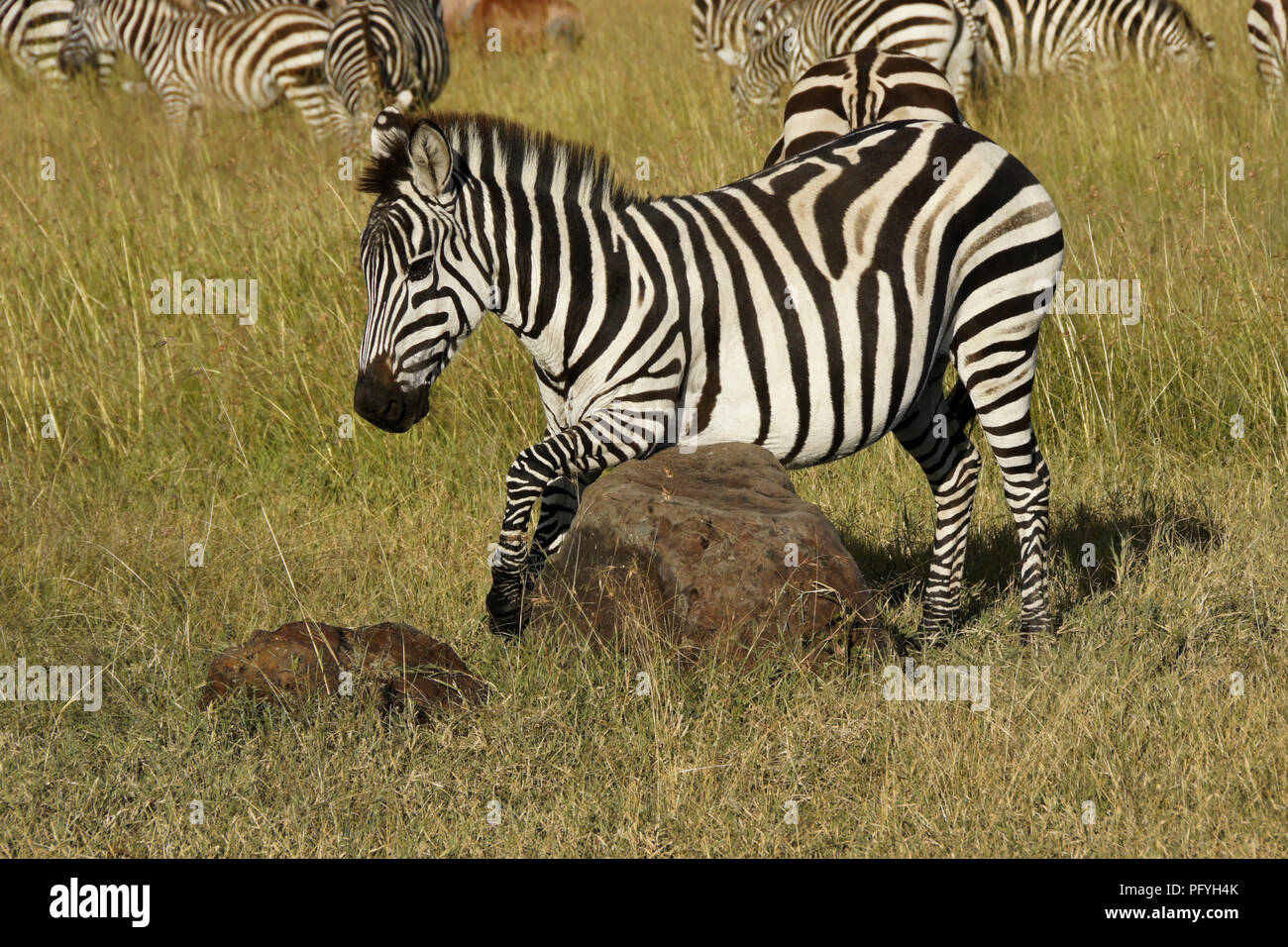 Burchell's (common, plains) zebra scratches its belly on a rock while other zebras and topis graze, Masai Mara Game Reserve, Kenya - Stock Photo