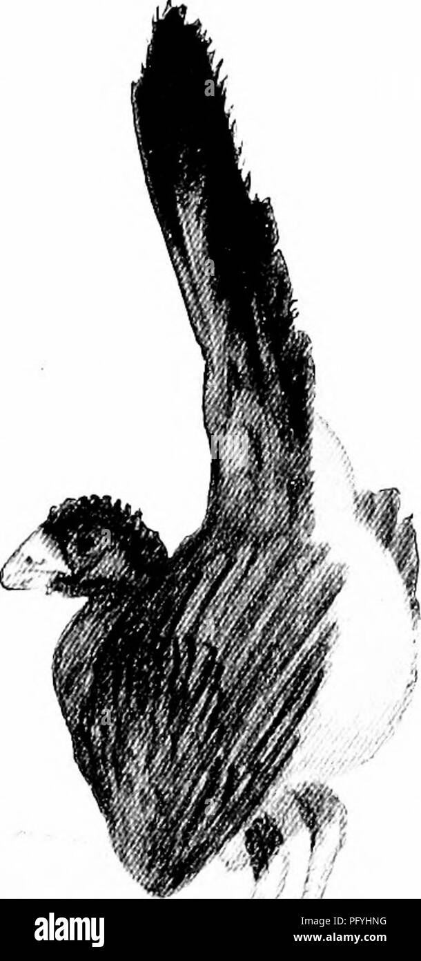 . Our search for a wilderness; an account of two ornithological expeditions to Venezuela and to British Guiana. Natural history; Birds. . // First Phase of Curassow Strutting, a Slow Walk with Raised Tail. Fig. 135. Rear view. Fig. 136. Side view. Foot by foot I pushed through or crawled under fallen trees and tangled vines and tree-ferns, close to the hot steam- ing forest mould, with the low distant booming becoming ever more distinct. The ventriloquial quality completely deceived me, and long after I thought to see the performer I went on and on for many yards. At last I turned to the south - Stock Image