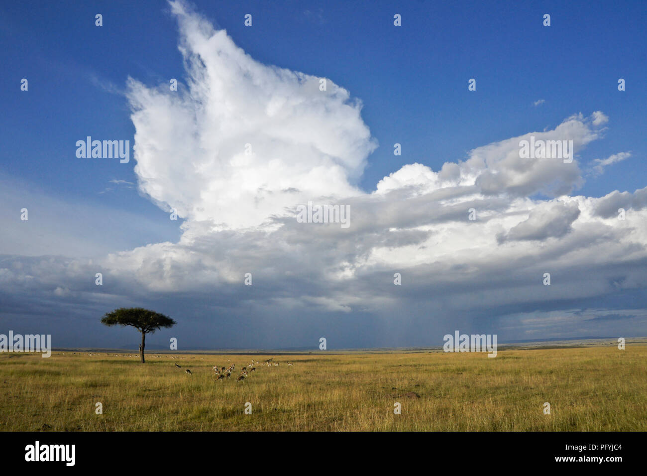 Dramatic cloud formation towers above wildlife grazing on the grassland of Masai Mara Game Reserve, Kenya - Stock Image
