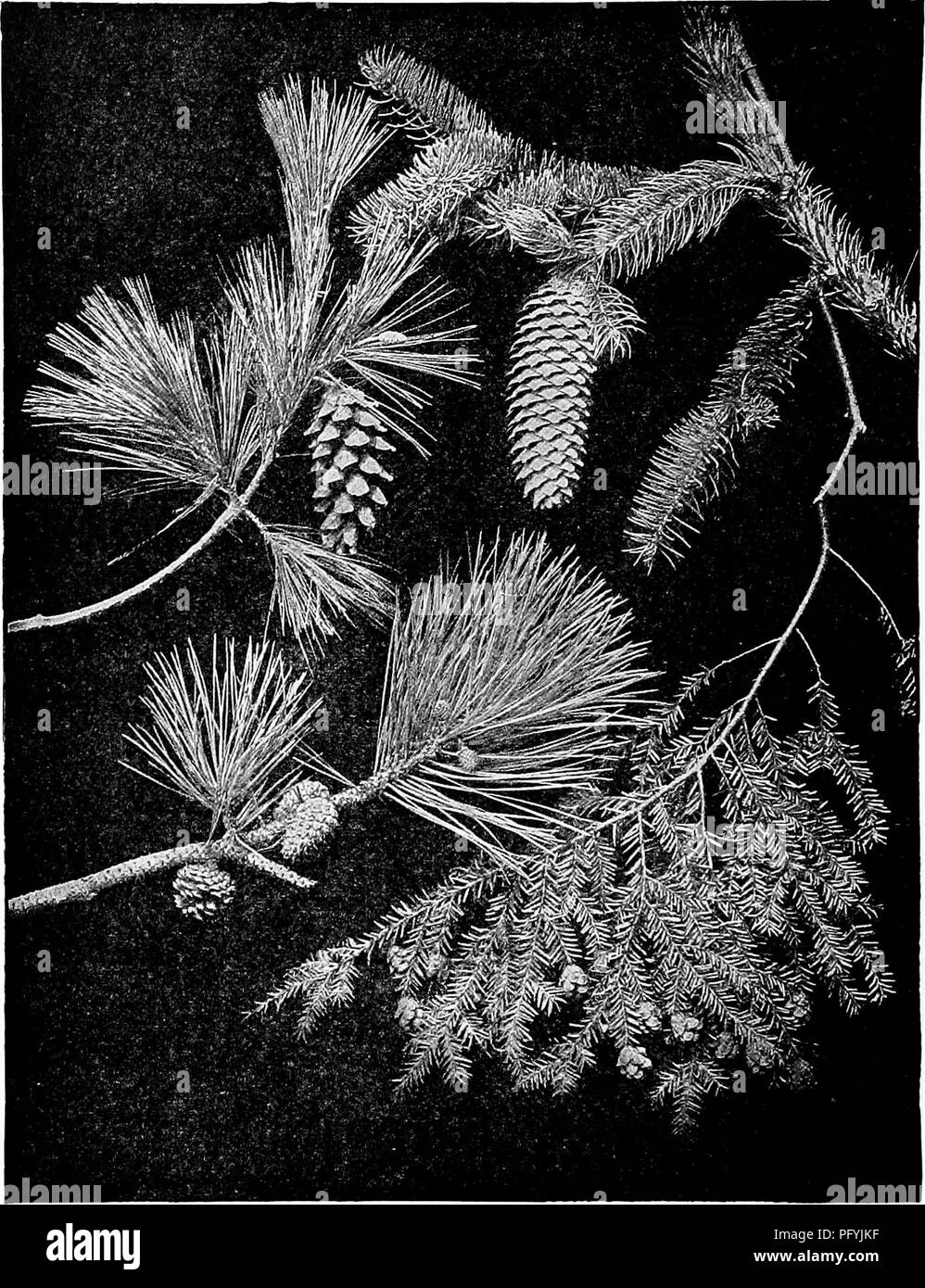 . Handbook of nature-study for teachers and parents, based on the Cornell nature-study leaflets. Nature study. While pine. Pitch pine Norway spruce Hemlock. Please note that these images are extracted from scanned page images that may have been digitally enhanced for readability - coloration and appearance of these illustrations may not perfectly resemble the original work.. Comstock, Anna Botsford, 1854-1930. Ithaca, N. Y. , Comstock Publishing Company - Stock Image