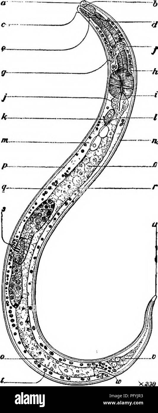 """. Fresh-water biology. Freshwater biology. FREE-LIVING NEMATODES 491 34 (31) Pharynx cyathiform then prismoid, ending behind very definitely; amphids distinct. Ethmolaimus de Man. Genus of two known species, one European, one American. Closely related to Chromadora, from which it is readily distinguished by the narrow uniform posterior portion of the pharynx, which is usually surrounded by a comparatively distinct pharyngeal bulb. Representative species. Ethmolaimus americanus Cobb 1914. <â â 2 5 10. IS 'S4'"""" 90.3 . ,. Labial papillae, apparently 12. Onchus thumb- shaped, forward point - Stock Image"""