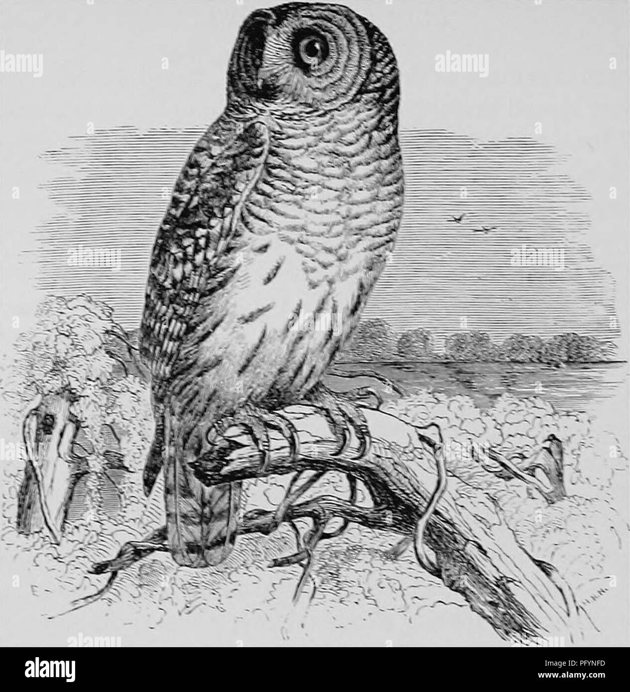 . A popular handbook of the ornithology of the United States and Canada, based on Nuttall's Manual. Birds; Birds. BARRED OWL. HOOT OWL. SVRXEOI XEBLXOSUM. Char. Above, brown barred, spotted, and striped with dull gray or tawny ; below, similar colors of paler tints; face, gray stripes; tail barred ; iris brownish black ; bill yellow. Length 19J4 to 24 inches. Easily distinguished from all other species by its dark eyes. ^Vesi. Usually in a hollow tree, but often a deserted nest of Crow or Hawk is re-lined and used. Bggs. 2-4; white and nearly spherical; 1.95 X 1.65. This species inhabits the n Stock Photo