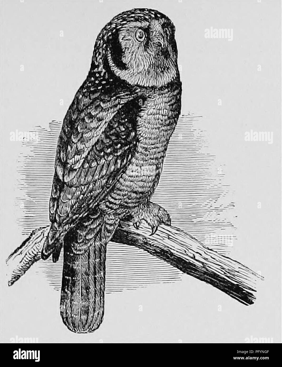 . A popular handbook of the ornithology of the United States and Canada, based on Nuttall's Manual. Birds; Birds. HAWK OWL. SURNIA ULULA CAPAROCH. Char. Above, dull blackish brown, spotted with white; crown without spots; dark patch on the cheeks; face white, the feathers with dark margins; tail and wing with white bars; below, white with dark bars. Length 1434; to 17^ inches. Nest. On a tree; of twigs lined with feathers. ^gg^- 2-7 ; dull white; 1.55 X 1.25. This remarkable species, forming a connecting link with the preceding genus of the Hawks, is nearly confined to the Arctic wilds of both Stock Photo