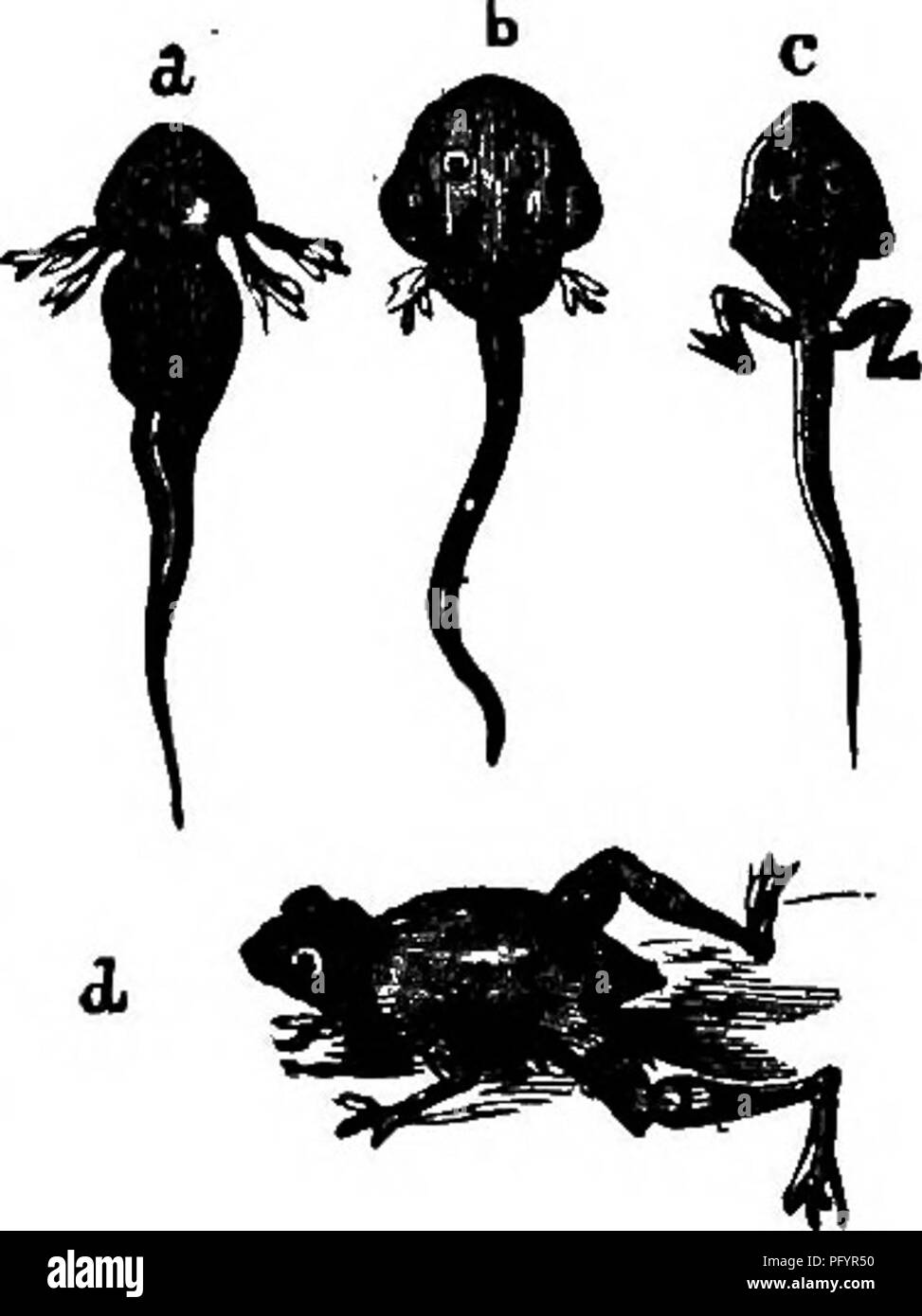 . The popular natural history . Zoology. COMMON FROG.- (Rana temporaria.). Please note that these images are extracted from scanned page images that may have been digitally enhanced for readability - coloration and appearance of these illustrations may not perfectly resemble the original work.. Wood, J. G. (John George), 1827-1889. New York, Burt Co - Stock Image