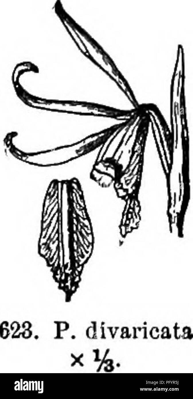 """. Gray's new manual of botany. A handbook of the flowering plants and ferns of the central and northeastern United States and adjacent Canada. Botany. 312 ORCHIDACEAE (ORCHIS PAMILY_) * t- Leaf solitary. 3. P. divaric&ta (L.) K. Br. Plants 3-6 dm. high, bearing above the middle an oblong-lanceolate leaf 6-18 cm. long, and next the flower a leafy bract; sepals brownish, ascending, linear-lanceolate, 4-5 cm. long, exceeding the spatulate magenta-pink or whitish petals; lip wedge-oblong, the lobes apical"""" and rounded, with a linear- grooved partly papillose crest along the middle. — Swa - Stock Image"""