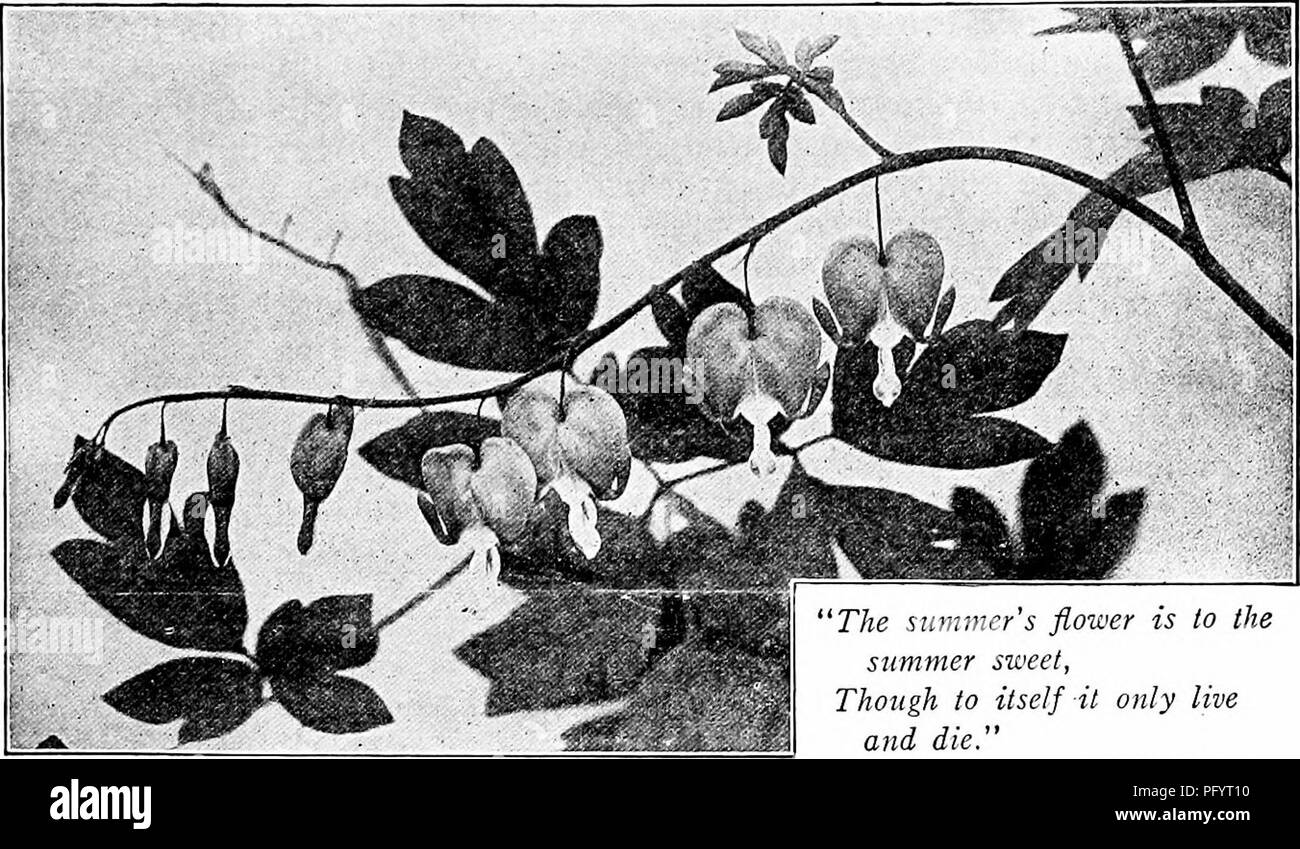 """. Handbook of nature-study for teachers and parents, based on the Cornell nature-study leaflets. Nature study. Cultivated-Plant Study 6ii. Photo by Verne Morton. 'The summer's flower is to the summer sweet, Though to itself it only live and die."""" —Shakespeare THE BLEEDING HEART Teacher's Story For the intricate structure of this type of flower, the bleeding heart is much more easily studied than its smaller wild sisters, the Dutchman's breeches or squirrel com; therefore it is well to study these flowers when we find them in profusion in our gardens, and the next spring we may study the w Stock Photo"""