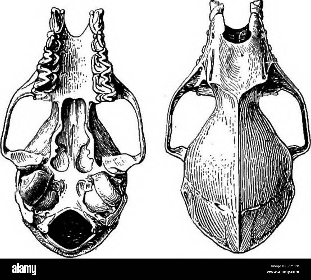 """. The families and genera of bats . Bats; Bats. 104 BULLETIN 57, UNITED STATES NATIONAL MUSEUM. entoconid, which is practically absent from m """". Skull (fig. 20) with rostrum slightly less than half as long as braincase, slender, slightly concave above, without supraorbital ridges or special widen- ing in interorbital or lachrymal regions, the postorbital processes reduced to the merest trace. Basisphenoid pits shallow but distinct, partly overhung by the concave-spatulate hamulars. Audital bullae small, their greatest diameter less than width of space between them. Sagittal crest low and indis - Stock Image"""
