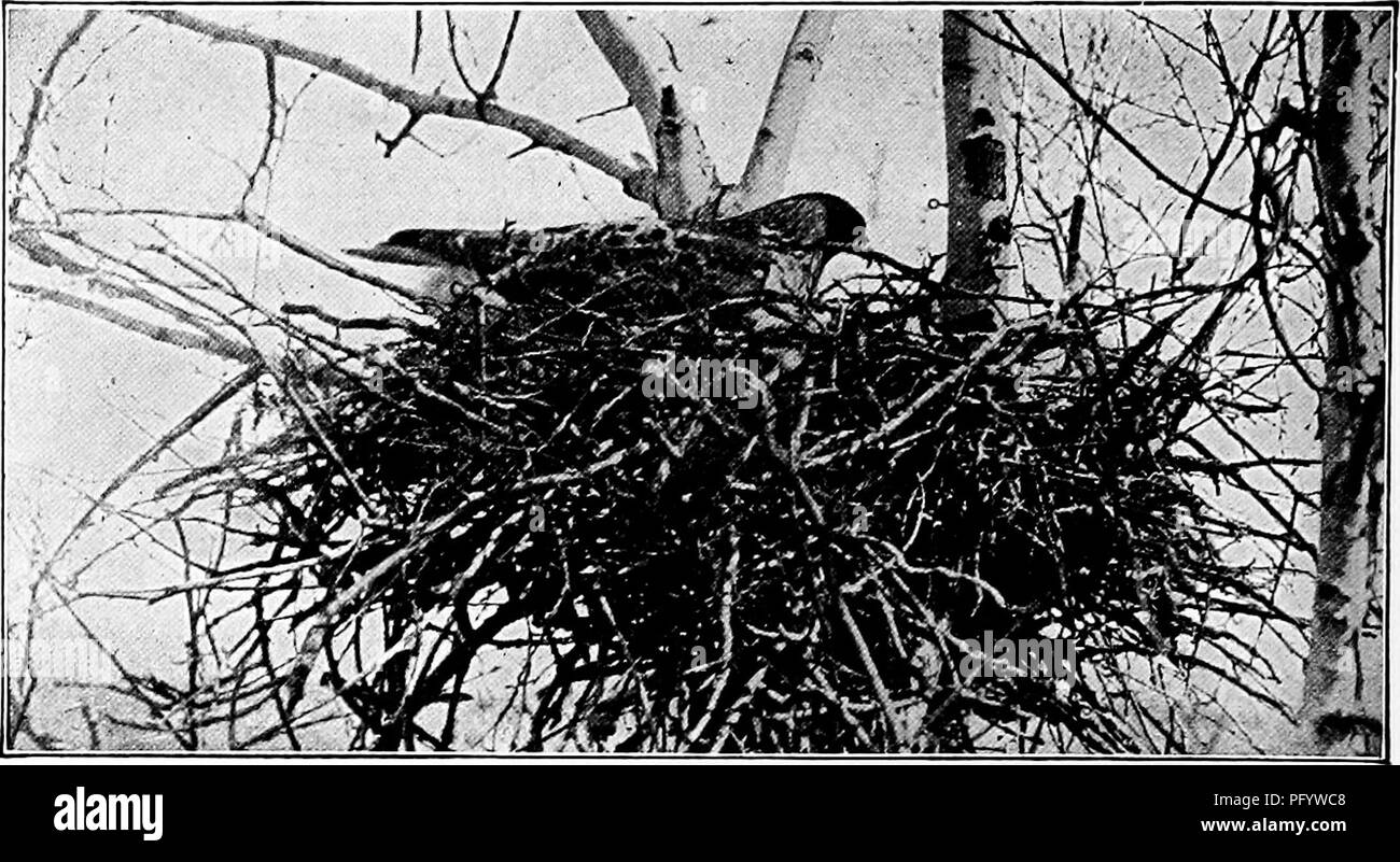 """. Handbook of nature-study for teachers and parents, based on the Cornell nature-study leaflets. Nature study. io8 Handbook of Nature-Study. Red-tailed hawk on nest. Photo by R. W. Hegner. THE HEN HAWKS Teacher's Story """"Above the tumult of the canon lifted, tlie gray hawk breathless hung. Or on the hill a winged shadoiv drifted where furze and ihornbush clung."""" —Bret Harte. It is the teacher's duty and privilege to try to revolutionize some popular misconceptions about birds, and two birds, in great need in this respect, are the so-called hen hawks. They are most unjustly treated, la - Stock Image"""