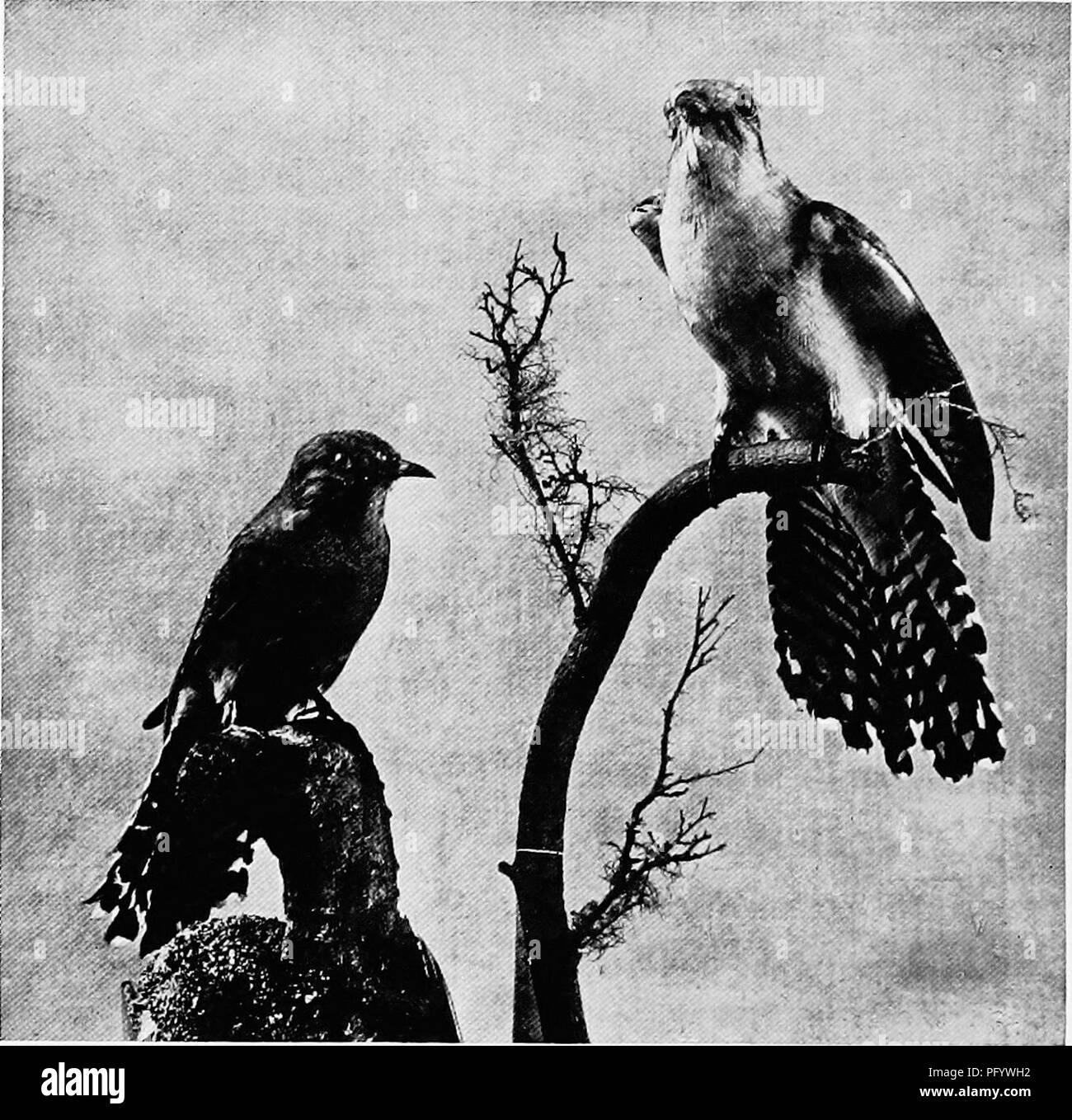 The Birds Of Australia 248 THE BIRDS OF ATJSTKALIA Instinct Which Enables