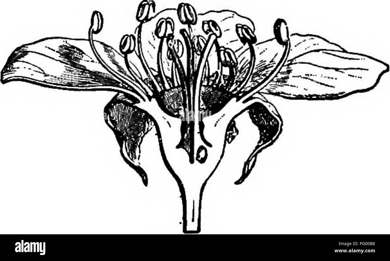 . Lessons in botany. Botany. 268 PLANT FAMILIES: DICOTYLEDONS. (upon the gynoecium) by the fusion of the receptacle with the carpels. The floral formula is thus Ca5,Cos,A10-5-5 or. Fig. 230. Flower of pear. (After Warming.) 10-10-5,G1-5. The carpels are united, but the styles are free. In fruit the united carpels fuse more or less with the receptacle. Omit either the strawberry, or the apple, as an exercise, if desired. Exercise 76. 430. The strawberry (Frag-aria vesca). Describe the appearance of the entire plant. What different stems are there ? What purpose does each kind of stem serve ? Sk - Stock Image