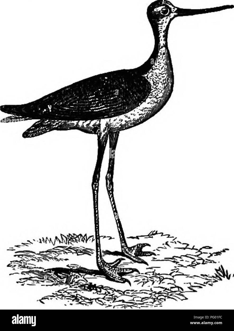 . New England bird life; being a manual of New England ornithology: rev.and ed. from the manuscript of Winfrid A. Stearns . Birds. HIMANTOPUS MEXICANUS : BLACK-NECKED STILT. 183 The case of this bird, probably the longest-legged feathered biped in proportion to the size of its body, is quite similar to that of the Avocet, so far as its pres- ence in New England is concerned. It is simply a straggler, though it is known to have occurred oftener than the Avocet has been ascertained to have done — for, as we have seen, there are only three unexceptionable records in the case of the latter species - Stock Image