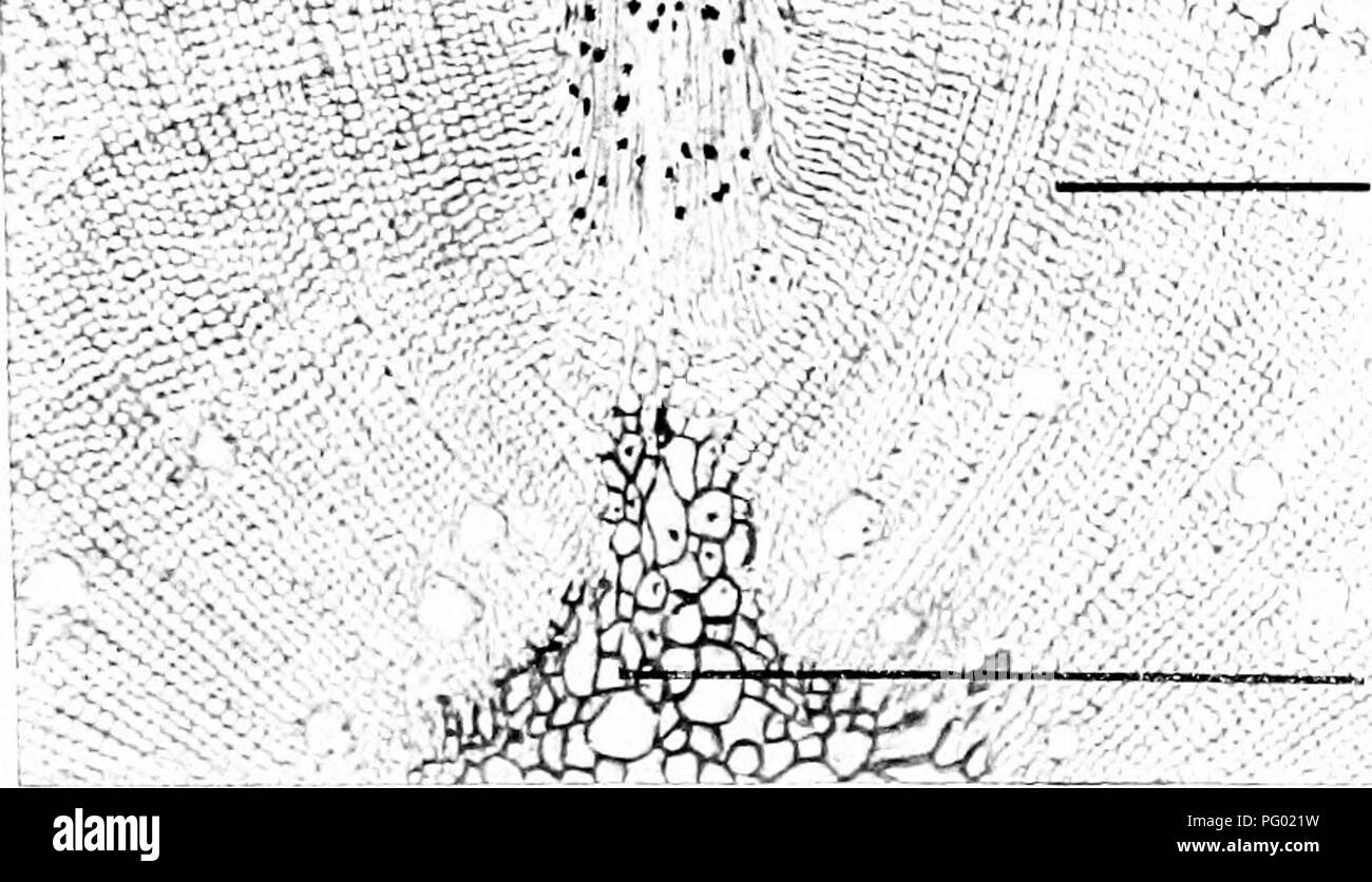 """. Photomicrographs of botanical studies. Photomicrography. Cortical tissue Bast elements. Cambium tissue. Medullar)' ray ' .'â ''/y' Wood in development. ''iKA-' l^i'inifl^i'y ground tissue -^H^ 57.âAdvanced stage, Stem of """" Pinus sylvestris,"""" Common Pine. 1 I^ /""""'Vr  '[ Developing brand ''-^ . *â¢â â¢.'"""" r'V'^^ H/ """"' i' ' itlTO^ Phloem element Cambium. /. Wood, developing. Pith.. Please note that these images are extracted from scanned page images that may have been digitally enhanced for readability - coloration and appearance of these illustrations may not perfect - Stock Image"""