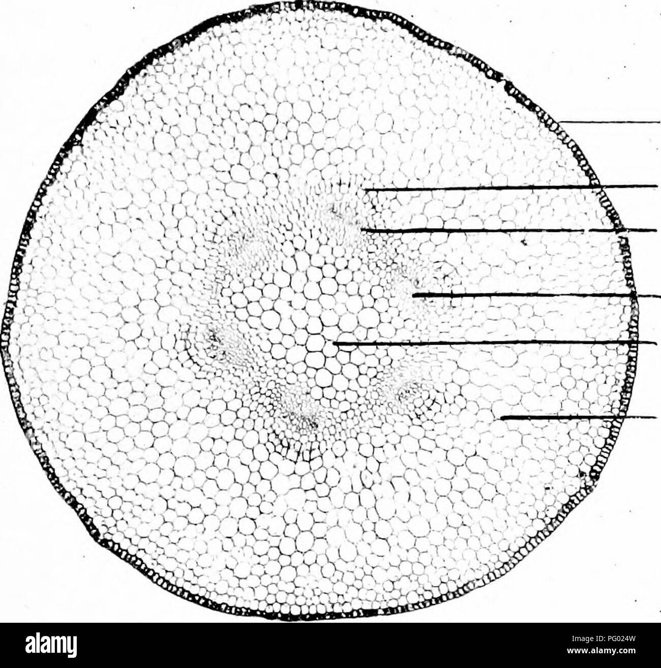 . Photomicrographs of botanical studies. Photomicrography. Cuticle. Endodermis. Pericycle Wood elements developing Central axis. Cortical tissue.. Please note that these images are extracted from scanned page images that may have been digitally enhanced for readability - coloration and appearance of these illustrations may not perfectly resemble the original work.. Flatters, Milborne & McKechnie Ltd. Manchester : Flaters, Milborne & McKechnie - Stock Image