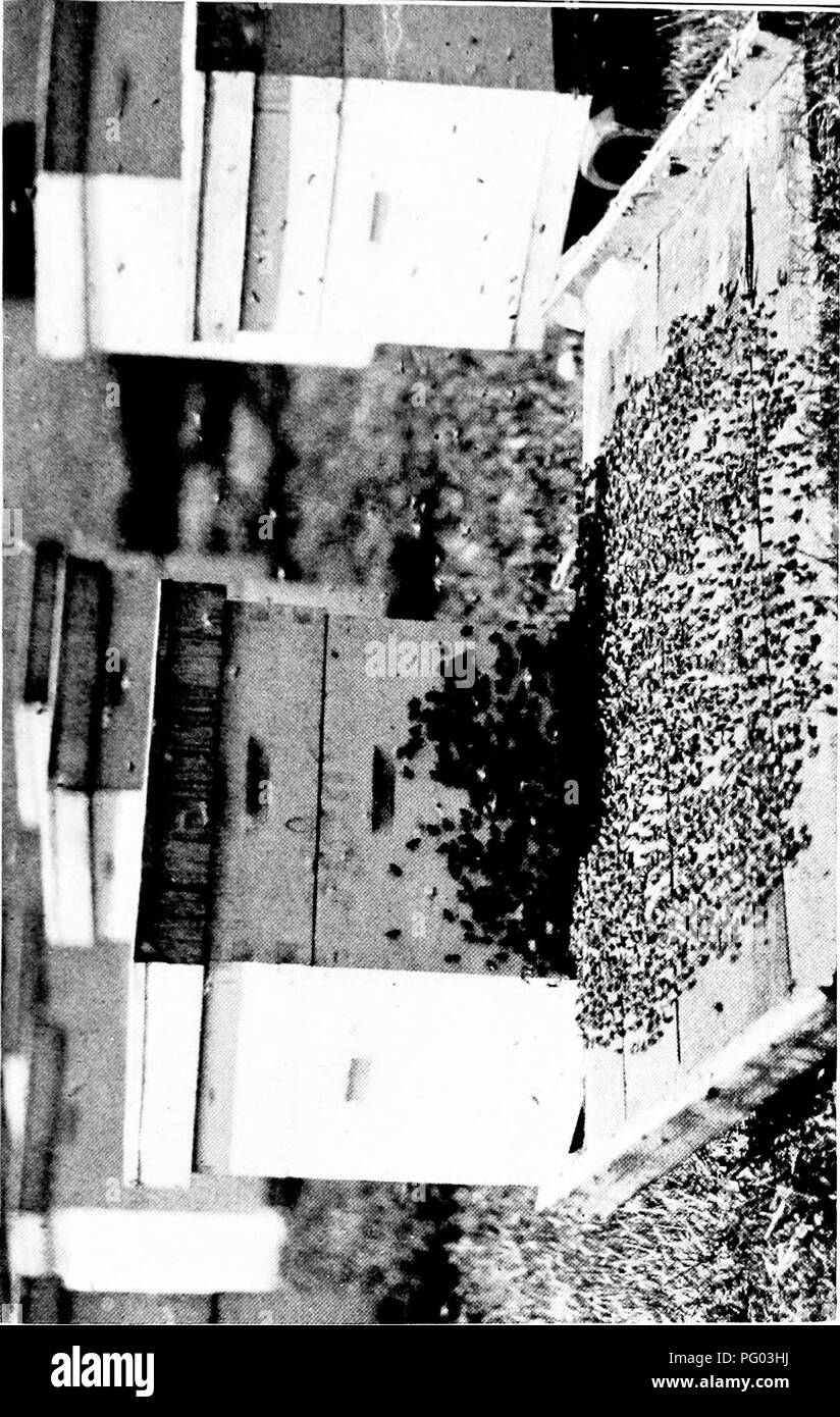 . Beekeeping; a discussion of the life of the honeybee and of the production of honey. Bees; Honey. . Please note that these images are extracted from scanned page images that may have been digitally enhanced for readability - coloration and appearance of these illustrations may not perfectly resemble the original work.. Phillips, Everett Franklin, 1878-1951. New York, The Macmillan company; London, Macmillan & co. , ltd. Stock Photo