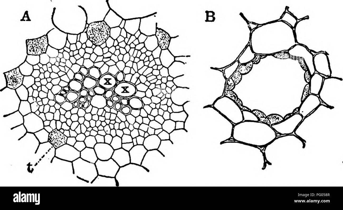 The Structure And Development Of Mosses And Ferns Archegoniatae