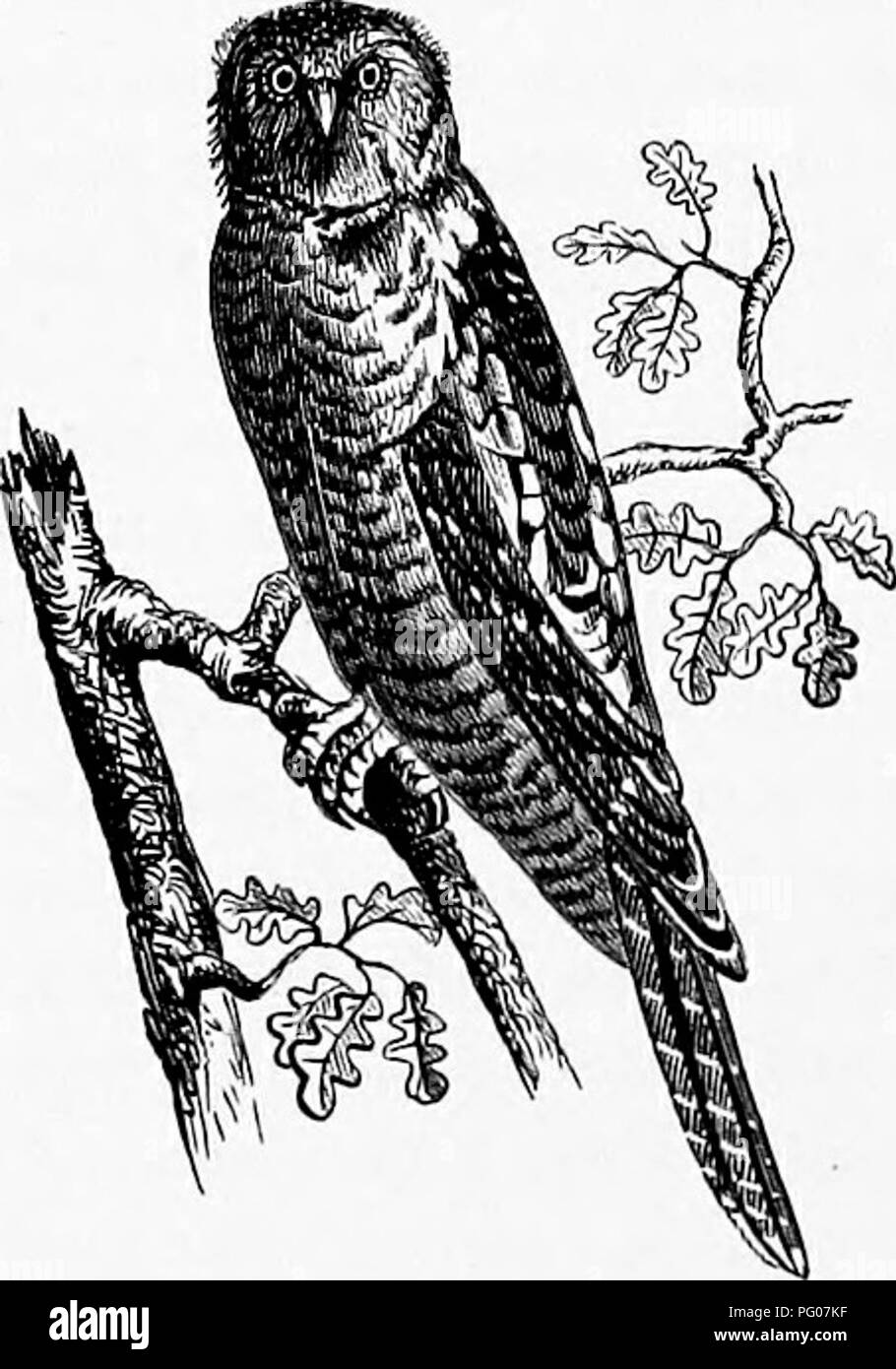 . Our own birds; a familiar natural history of the birds of the United States. Birds. 184 INSESSORES. representing there the Duck Hawk of America, ap- pears to have been the favorite Hawk among the fal- coners of the olden time. In the early part of Euro- pean history mention is frequently made of the sport of hawking, and it was then considered as a recrea- tion of such a dignified character, that it was placed by laws beyond the power of any but the nobility to engage in it. The various nobles vied with each other in the superiority and numbers of their Falcons, and the life of a serf is sai Stock Photo