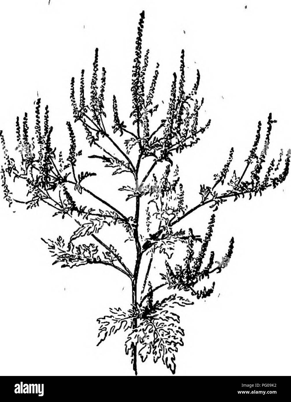 . Selected western flora : Manitoba, Saskatchewan, Alberta . Botany; Botany; Botany. COMPOSITiB 149 1. A. trfflda, L. Great Raq- 1 WEED. Annual, stout, 2-10 ft. high, hairy; leaves opposite, all ex- cept the upper deeply 3-lobed; petioles margined. Rich soil, —- a not uncommon weed, espe- cially about dwellings, Man. and westward. 2. A. pulostachya, DC. Per- ennial RAGWEED. Much branched, reclining, and spreading from a creeping rootstock; leaves opposite, once pinnatifid, the lobes of the upper entire, those of the lower often incised. Dry soil, some- times a troublesome weed, Man.-Alta.. Fig - Stock Image