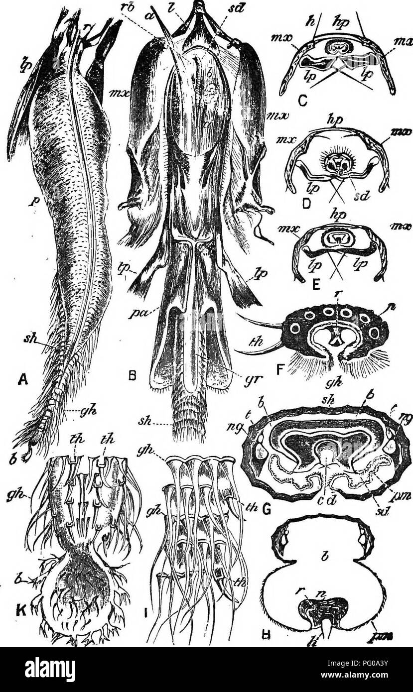 . Practical beekeeping. Bees. mx. Fig. 3.—Details of Tongue Structures of Bee. A, Under side of ligula; Ip, labial palpus; r, r, rod; p, pouch; sii, shealb; ghj gathering hairs; b, bouton, or spoon. B. underlip or labium, with appen- dages, partly dissected—1, lora or submentum; a, a, retractor linguae longus; sr, salivavry duct; rb and b, retractor linguae biceps; mx, mx, maxillae; Ip, Ip libial palpi; pa, paraglossa; gr, feeding groove; sh, sheath of Ugula. C, D, and E, cross sections of ligula; hp, hyaline plate of maxilla; h, hairs acting as stops; mx, maxillae; Ip, labial palpi; sd, side  - Stock Image