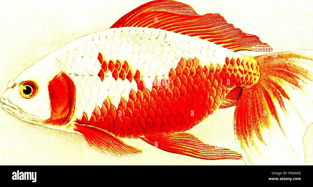 Japanese goldfish, their varieties and cultivation