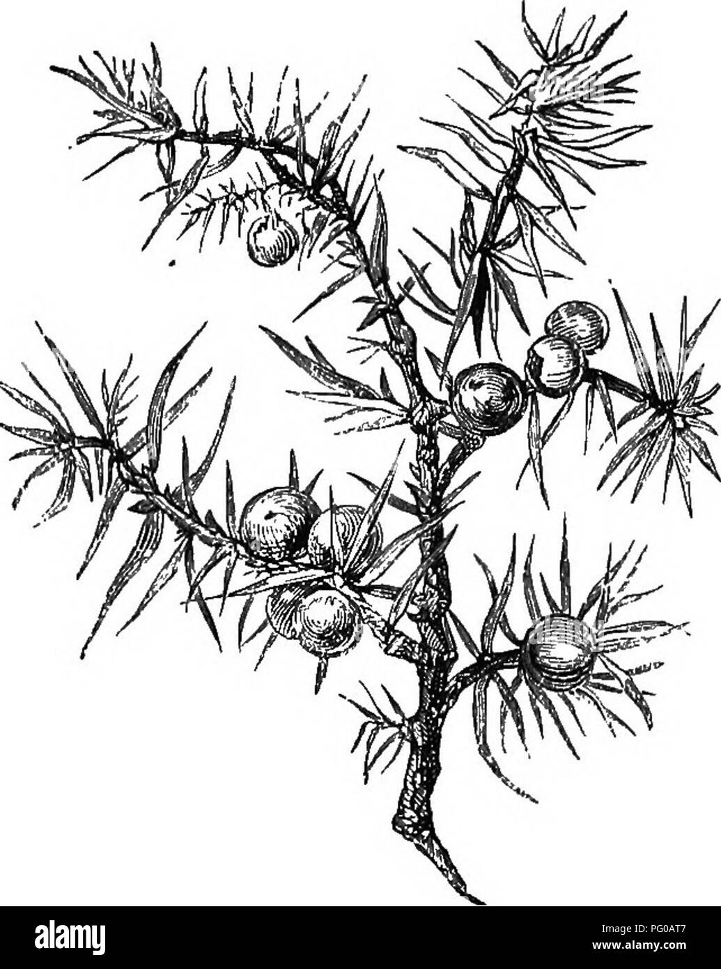 . Our woodland trees . Trees; Trees. THE JUNIPER. 607 flowers are of a wliitisli-yellow colour; and its fruit (shown in the illustration on this page) is in the form of purple or purplish-black and fleshy berries. The Juniper is easily grown on sandy soil, and can be propagated either by seed, by. cuttings, or by layers. Its trunk or stem is usually too small to produce any appreciable quantity of wood. But it is aromatic, of a yellowish-brown colour, very durable, finely veined, and susceptible of a high poHsh, and is useful and. Please note that these images are extracted from scanned page i - Stock Image