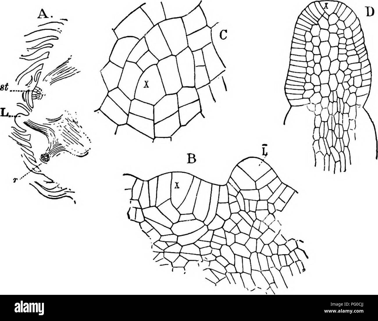 the structure and development of mosses and ferns archegoniatae Fern Sori Diagram plant morphology mosses ferns 328 mosses and ferns plant exceeds the leaves in a plant with the fourth leaf still unfolded