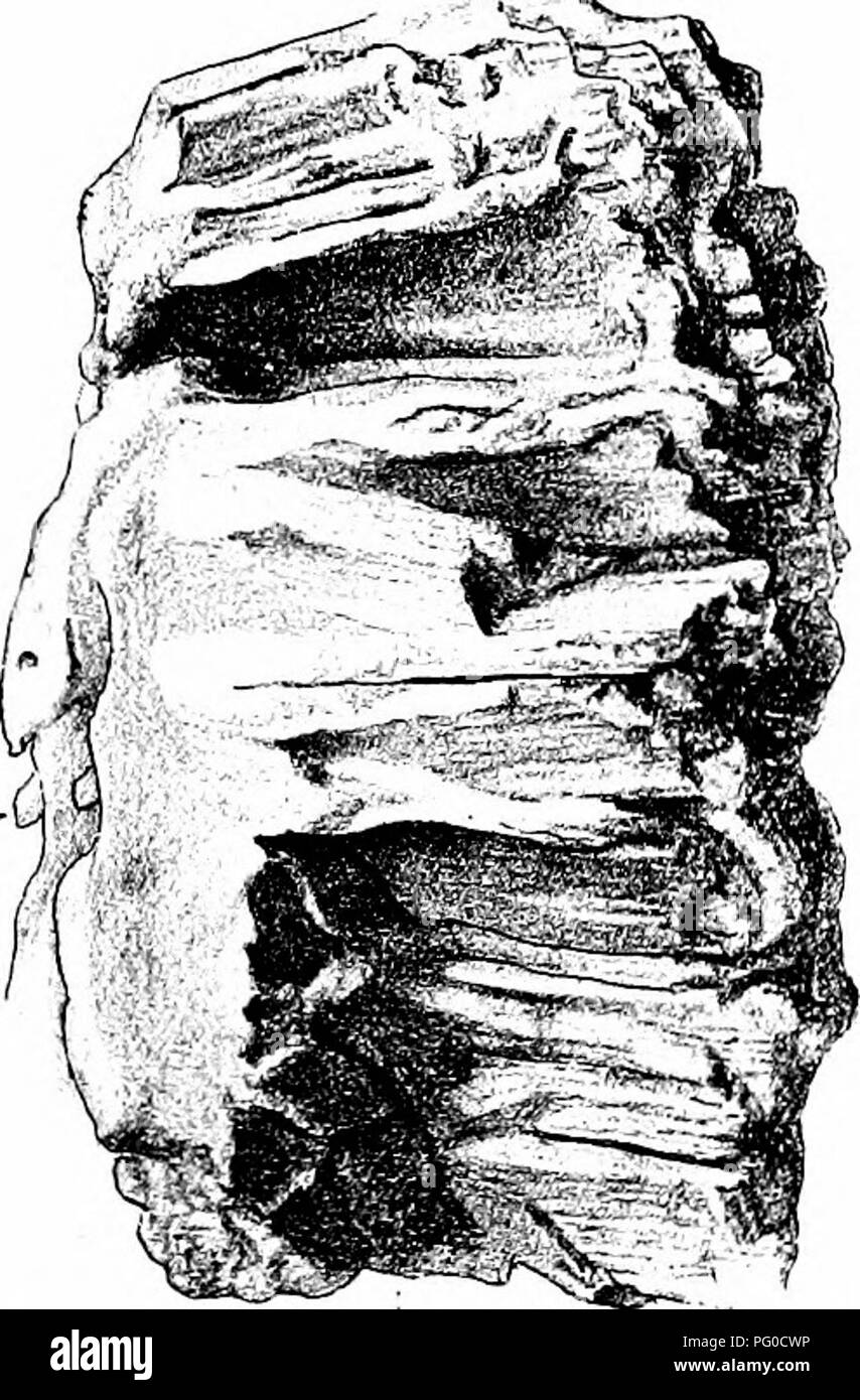 . Fossil plants : for students of botany and geology . Paleobotany. xxxvi] OYCADEOIDEA 377 pursues a straight course to the leaf-base (fig. 510) where it breaks up into several branches (fig. 538, B). Both leaf-trace. Please note that these images are extracted from scanned page images that may have been digitally enhanced for readability - coloration and appearance of these illustrations may not perfectly resemble the original work.. Seward, A. C. (Albert Charles), 1863-1941. Cambridge : University Press - Stock Image