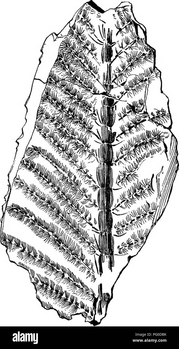 Fossil Plants For Students Of Botany And Geology Paleobotany