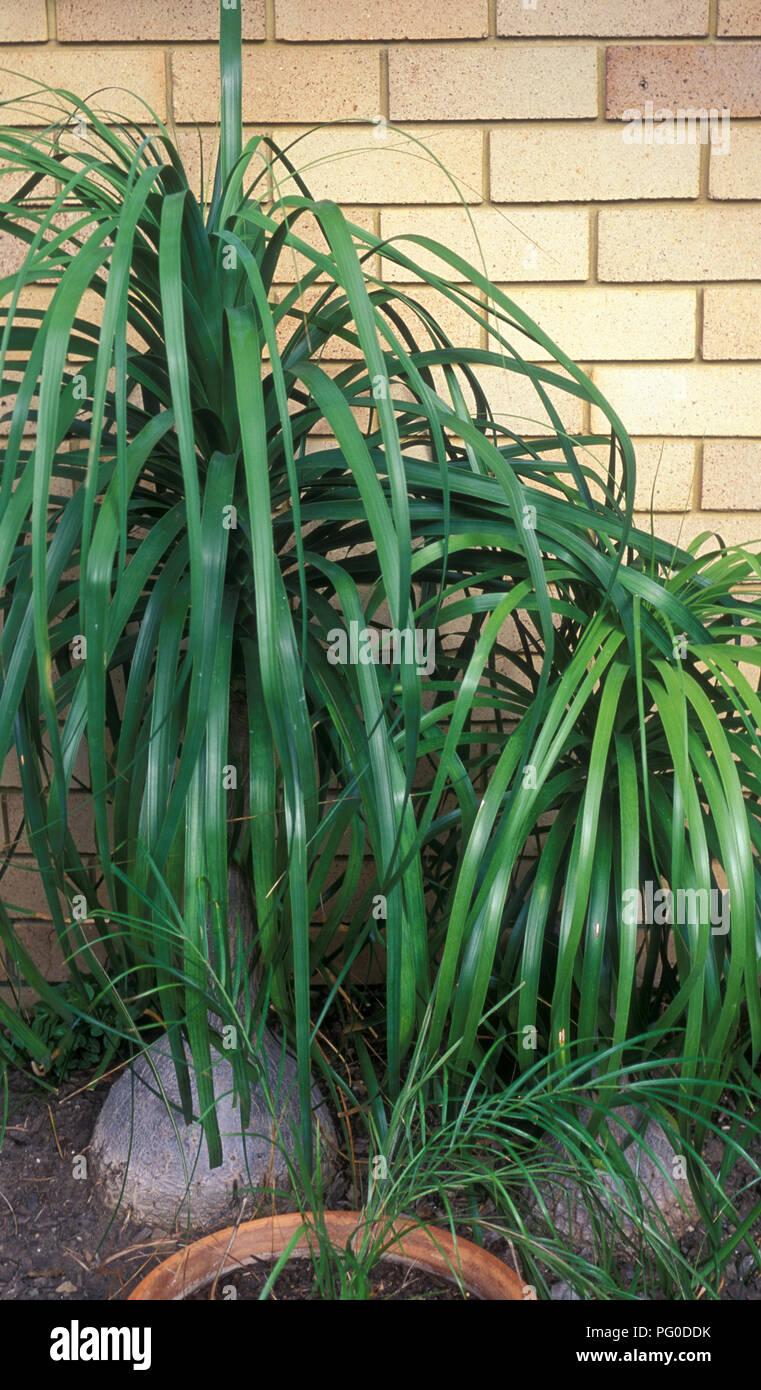 Beaucarnea recurvata (elephant's foot, ponytail palm) - Stock Image