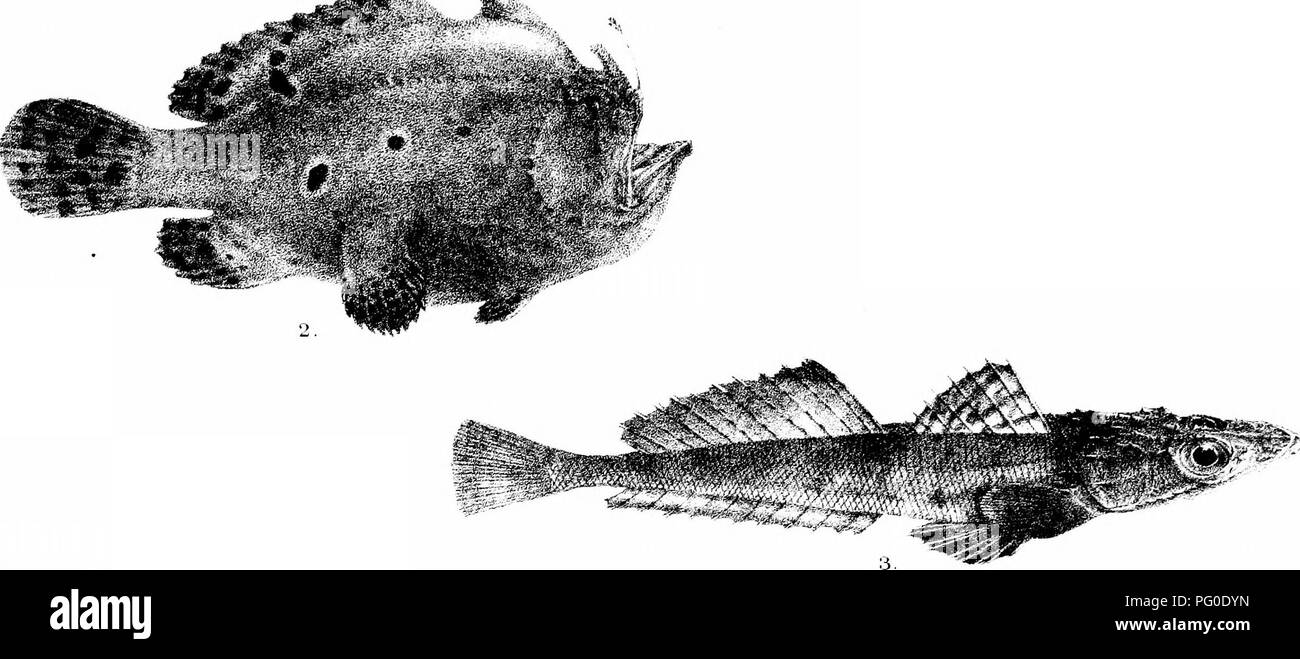 . The fishes of India; being a natural history of the fishes known to inhabit the seas and fresh waters of India, Burma, and Ceylon. Fishes. i^*j, i ••• f^^.. Please note that these images are extracted from scanned page images that may have been digitally enhanced for readability - coloration and appearance of these illustrations may not perfectly resemble the original work.. Day, Francis, 1829-1889. London, B. Quaritch - Stock Image