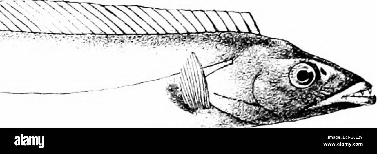 """. The fishes of India; being a natural history of the fishes known to inhabit the seas and fresh waters of India, Burma, and Ceylon. Fishes. ^^^^""""Ji^. CiH Ford del RMntern lith. 1. SCLENOIDES BIAURITUS Mm-ei n Bro 2.ACANTHURUS STRIGOSUS. 3 HISTIOPHORUS BREVIROSTR^S 4 TRICHIURUS SAVALA, 5 T, MUTICUS. Please note that these images are extracted from scanned page images that may have been digitally enhanced for readability - coloration and appearance of these illustrations may not perfectly resemble the original work.. Day, Francis, 1829-1889. London, B. Quaritch - Stock Image"""