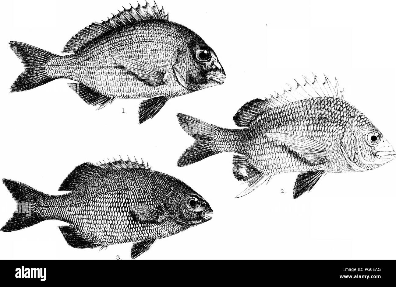 . The fishes of India; being a natural history of the fishes known to inhabit the seas and fresh waters of India, Burma, and Ceylon. Fishes. Days KsLes of tidia. Plate :{:{iv N. Please note that these images are extracted from scanned page images that may have been digitally enhanced for readability - coloration and appearance of these illustrations may not perfectly resemble the original work.. Day, Francis, 1829-1889. London, B. Quaritch - Stock Image