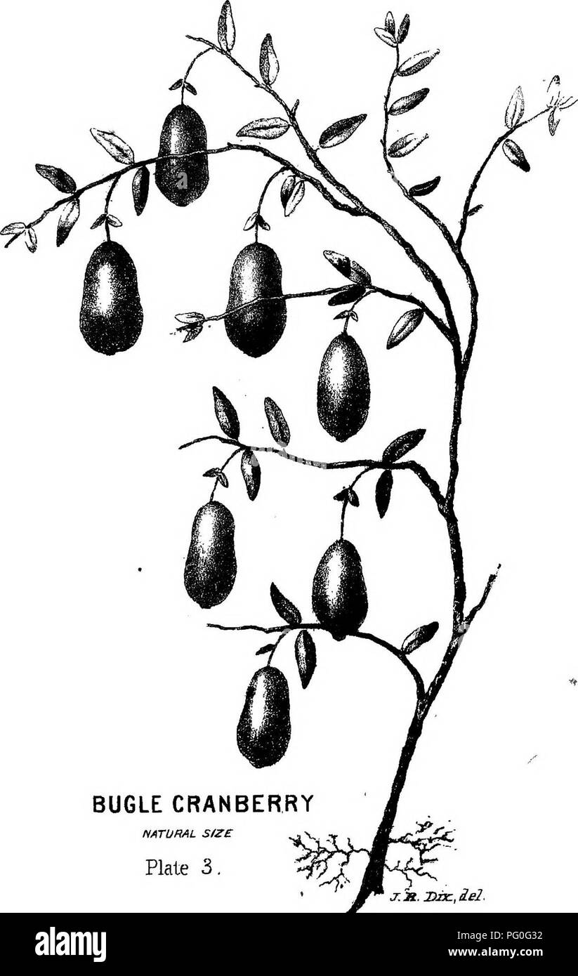 . A complete manual for the cultivation of the cranberry : with a description of the best varieties . Cranberries. BUGLE CRANBERRY NATURAL SIZE Plate 3. j:n.X>Jx:,ie2.. Please note that these images are extracted from scanned page images that may have been digitally enhanced for readability - coloration and appearance of these illustrations may not perfectly resemble the original work.. Eastwood, B. New York : C. M. Saxton, Barker - Stock Image