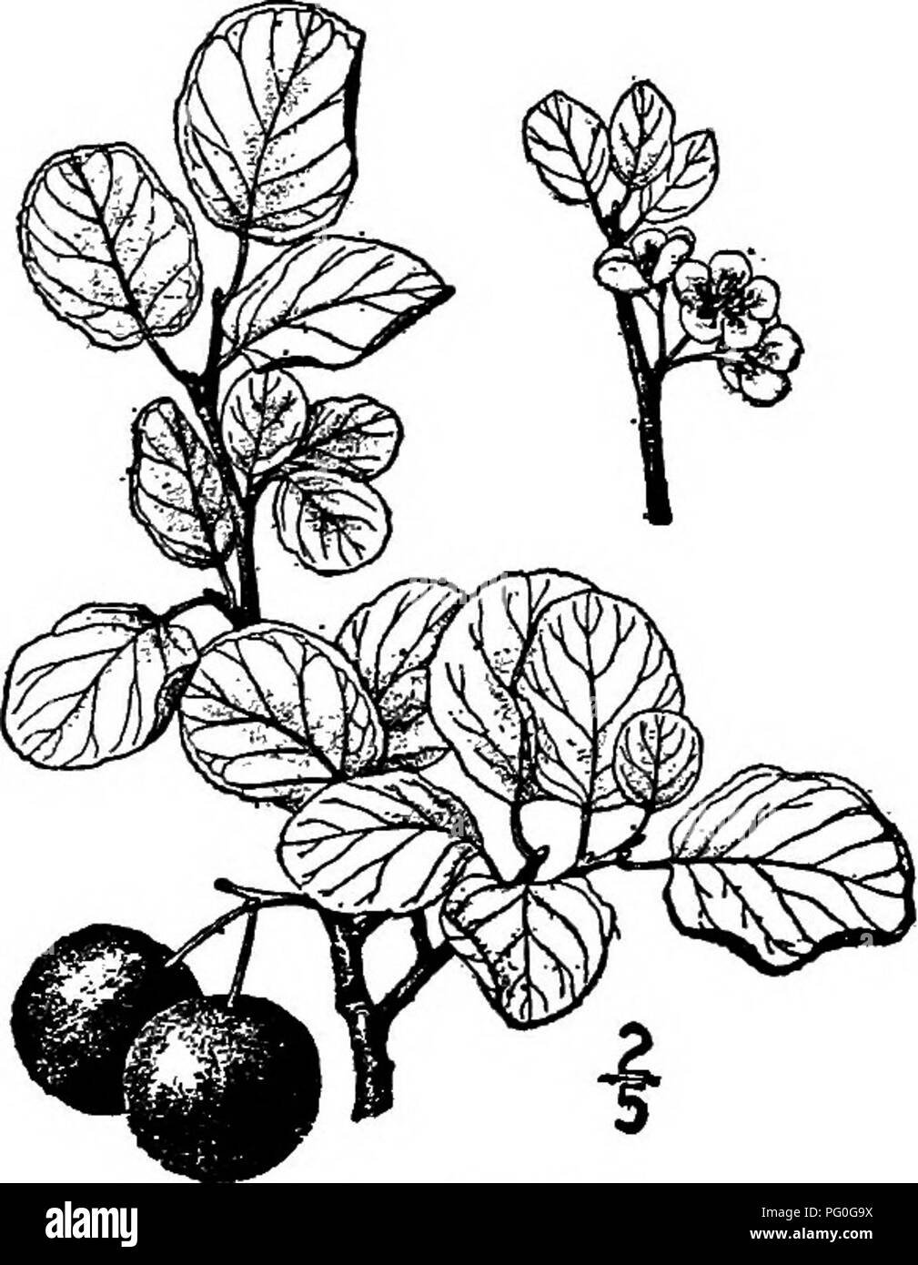 . North American trees : being descriptions and illustrations of the trees growing independently of cultivation in North America, north of Mexico and the West Indies . Trees. 492 The Plums and Cherries The Woolly-leaf plum is a variety of this, or perhaps a distinct species, with conspicuously hairy leaves and twigs, occurring west of the Alleghany Mountains, principally in the Gulf States, and known as Prunus americana lanata Sudworth. 7. PACIFIC PLUM—Prunus subcordata Bentham A low branching tree, or usually a shrub, on dry rocky hills of southern Oregon to middle California, reaching a maxi Stock Photo