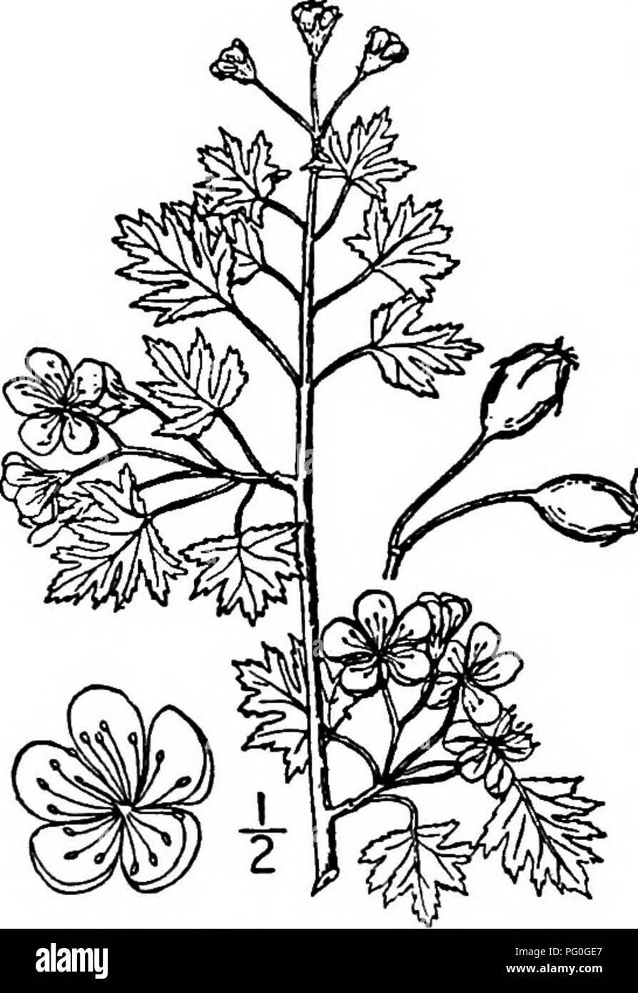 North American Trees Being Descriptions And Illustrations Of The