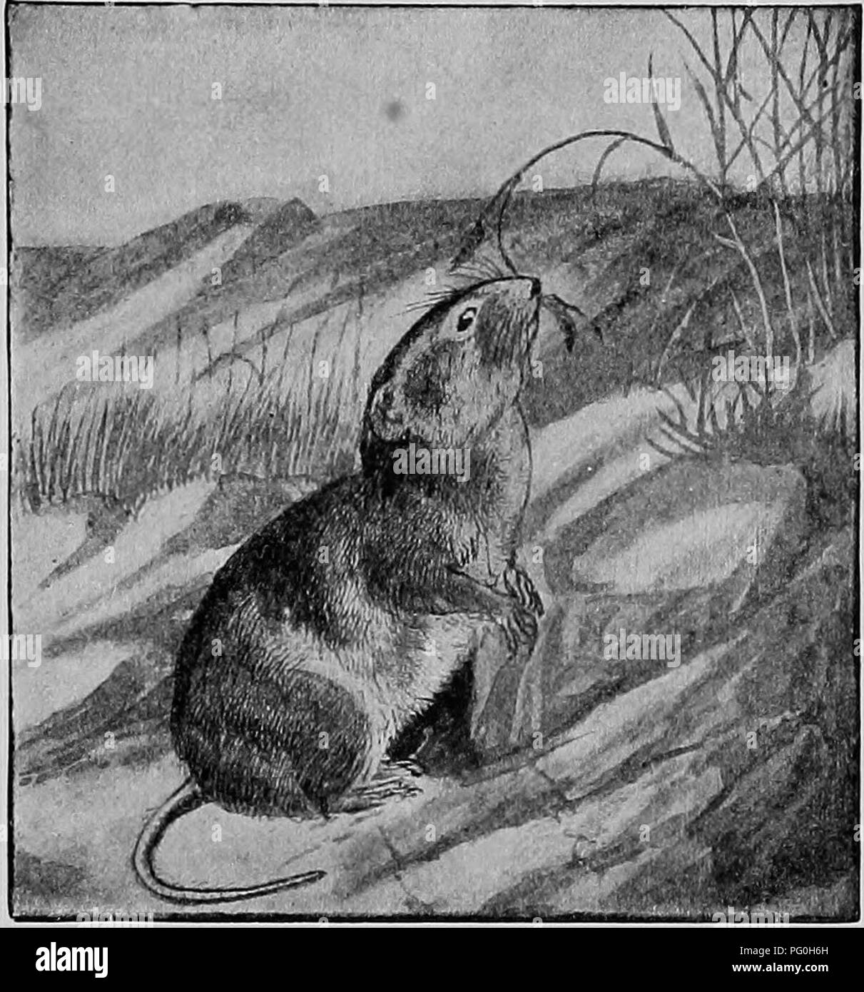 """. The American natural history; a foundation of useful knowledge of the higher animals of North America. Natural history. EXPLOITS OF A PAIR OF WOOD RATS 231 remarkable thing about them is """"their habit of entering houses and playing practical jokes upon the inmates. A pair of Wood Rats that I knew by reputation at Oak Lodge, in Florida, first carried a lot of watermelon seeds from the. NORTHWESTERN VOLE. ground floor up-stairs, and hid them under a pillow. Then they took from the kitchen a tablespoonful of cucumber seeds, and placed them in the pocket of a vest which hung up-stairs on a n - Stock Image"""